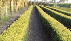 Taxus haagplanten