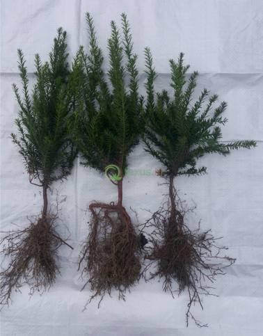 haagplanten 20-30 cm hoog