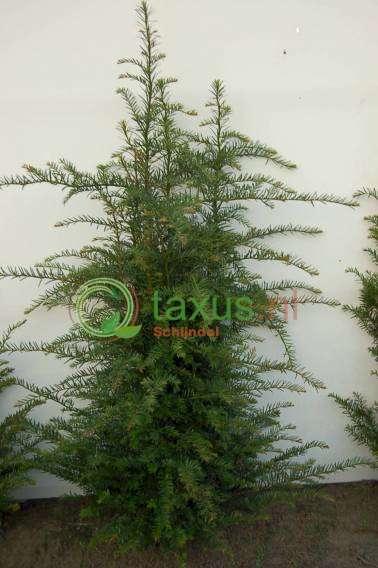 taxus baccata haagplant 100-120 cm hoog