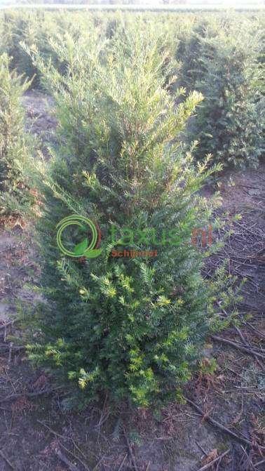 Taxus bacatta taxushaag bijzonder scherp geprijsde for Plante 60 80
