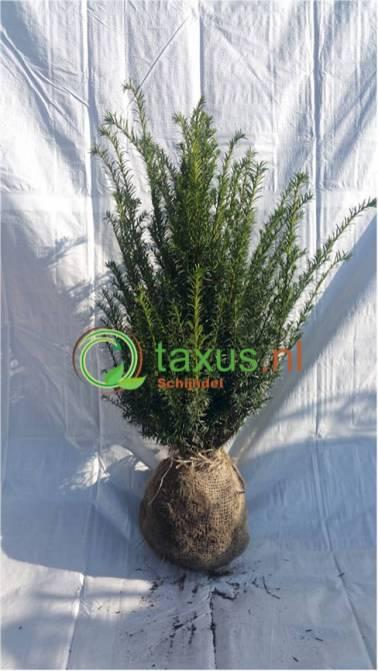 taxus baccata haagplant 60 tot 80 cm