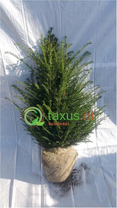 Haagplanten 80-100 cm