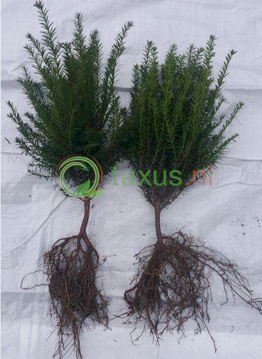 Taxus baccata haagplant 35 tot 50 cm