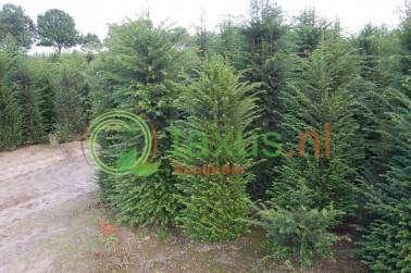 haagplanten 125 tot 150 cm